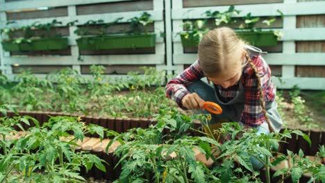 Kind-Mit-Lupe-Das-Tomatenblume-Betrachtet