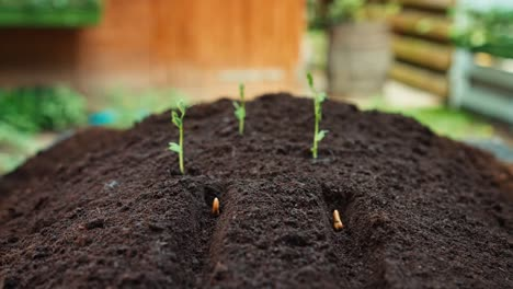 Close-Up-Shot-Hand-Of-Farmer-Planting-Bean-Seeds-To-Soil-Dolly-Shot-Out
