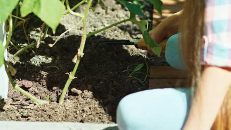 Farmer-8-Age-Loosens-The-Ground-Under-The-Plants-Cucumber-In-The-Garden