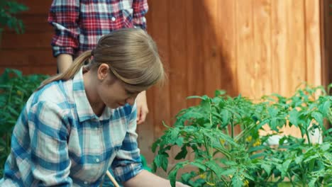 Farmers-Family-Caring-About-Of-Tomatoes-In-The-Garden