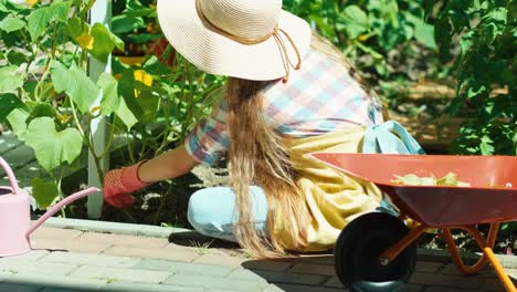 Girl-8-Age-Trimming-Leaves-Of-Cucumber-In-Kitchen-Garden