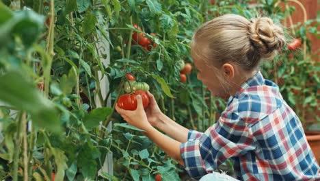 Girl-Harvesting-Tomatoes