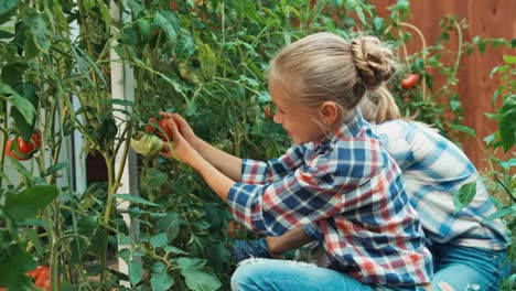Girl-Picking-Up-Tomato-In-Kitchen-Garden-And-Putting-It-To-Basket