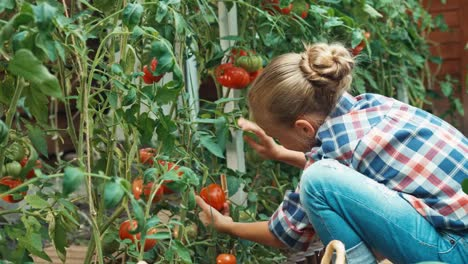 Girl-Picking-Up-Tomatoes-In-Her-Kitchen-Garden