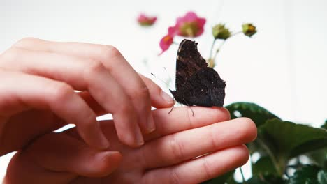 Hand-Of-Child-Playing-With-Butterfly-Closeup-Shot-On-White-Background