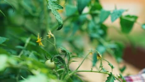 Mano-Del-Niño-Tocando-Flores-Tomates-En-El-Jardín
