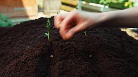 Mano-Del-Agricultor-Plantando-Semillas-De-Frijol-Al-Suelo