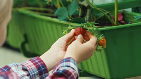 Hands-Of-Child-Holds-Branch-Of-Strawberries-Close-Up