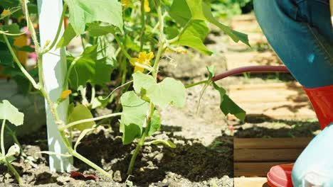 Kleiner-Bauer-Gießt-Gurkenpflanzen-Im-Gemüsegarten