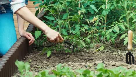 Mutter-Lockert-Den-Boden-Und-Tochter-Gießt-Tomatensetzlinge