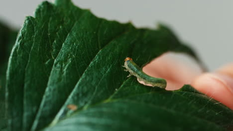 Pest-Control-Service-Green-Caterpillar-On-Strawberry-Leaf-Close-Up-Shot