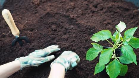 Planting-Seedlings-Of-Vegetable-To-Soil-Top-View