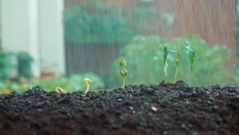 Rain-Falling-To-Seedlings