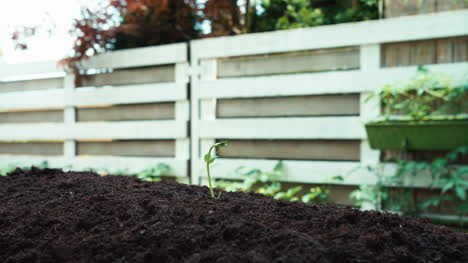 Seedling-Of-Bean-In-The-Garden-Bed-Dolly-Shot