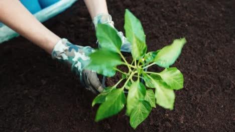 Seedlings-Of-Paprika-Top-View