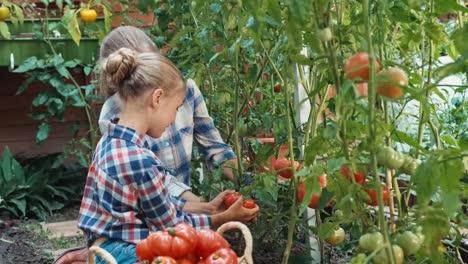 Tomato-Production-In-Kitchen-Garden