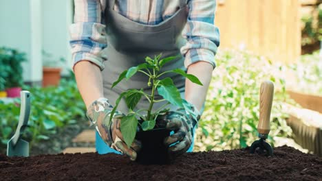 Woman-And-Seedlings-Of-Paprika-In-The-Soil
