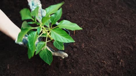Woman-Hands-And-Seedlings-Of-Paprika-In-The-Soil