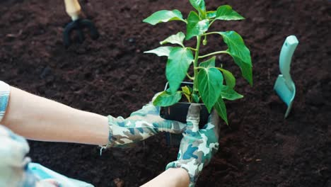 Woman-Hands-And-Seedlings-Of-Paprika