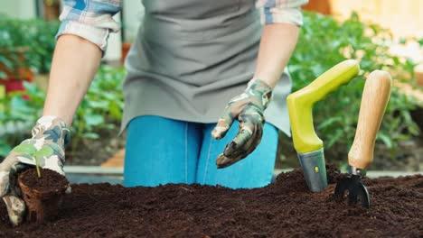 Manos-De-Mujer-Están-Plantando-Plántulas-De-Pepino-En-El-Suelo