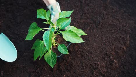 Woman-Hands-Are-Planting-Seedlings-Of-Pepper-In-The-Soil
