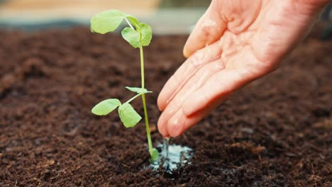 Woman-Hands-Are-Watering-Seedlings-Of-Cucumber-In-The-Soil