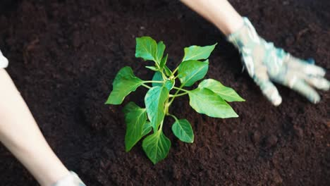 Woman-Hands-Take-Care-About-Seedlings-Of-Paprika-In-The-Soil