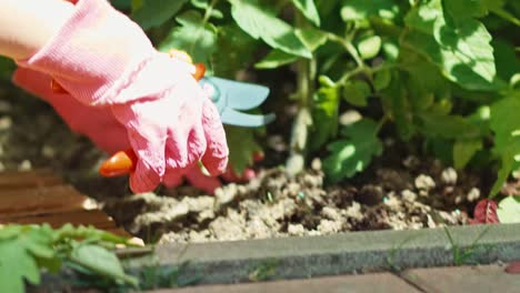 Young-Farmer-Caring-About-Tomatoes-Child-Is-Working-In-The-Garden-Close-Up
