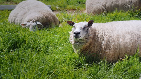 Sheep-Graze-On-A-Green-Meadow