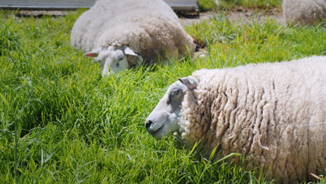 Sheep-Graze-In-A-Green-Meadow