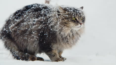 Cat-Hisses-And-Shows-Aggression-In-Snow