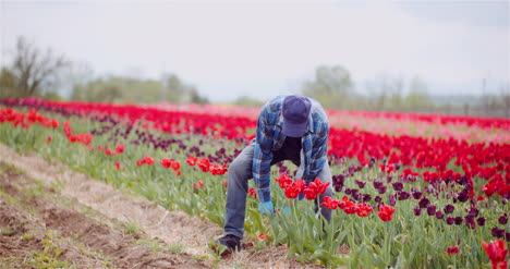 Farmer-Working-At-Tulips-Flower-Plantation-In-Netherlands