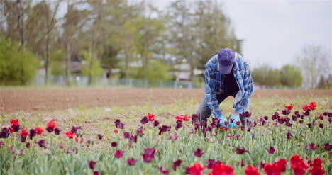 Agriculture-Farmer-Working-At-Tulips-Field