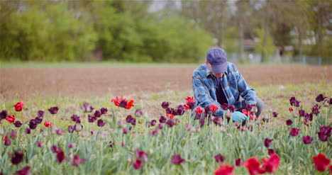 Agriculture-Farmer-Working-At-Tulips-Field-1
