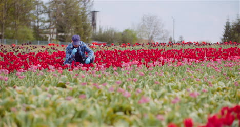 Agriculture-Farmer-Working-At-Tulips-Field-4