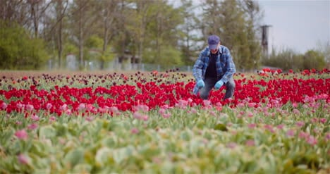Farmer-Working-At-Tulips-Flower-Plantation-In-Netherlands-3