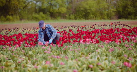 Farmer-Working-At-Tulips-Flower-Plantation-In-Netherlands-4