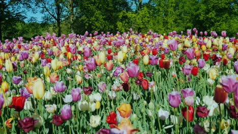 Dutch-Flower-Bed-With-Tulips