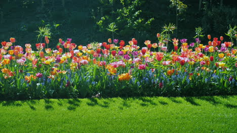 Beautiful-Flower-Bed-With-Colorful-Tulips