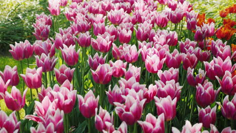 Flowerbed-With-Beautiful-Violet-Tulips-