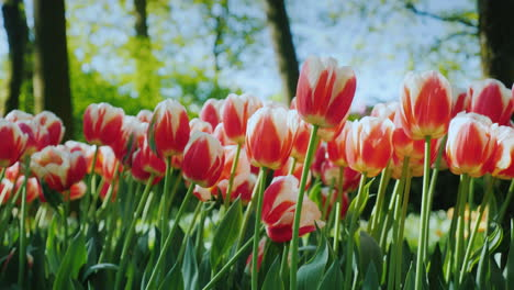 Red-And-White-Tulips-