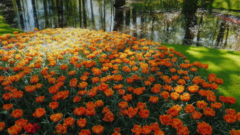 Orange-Tulips-by-Calm-River