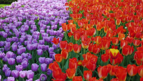 Purple-And-Red-Tulips-in-Keukenhof-Park-The-Netherlands