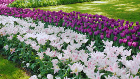 Pink-And-Purple-Tulips-In-Keukenhof-Park-The-Netherlands