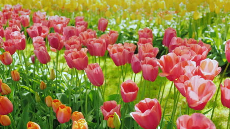 Pink-Tulips-In-The-Netherlands