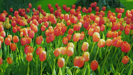 Pink-Tulips-In-Amsterdam-Park
