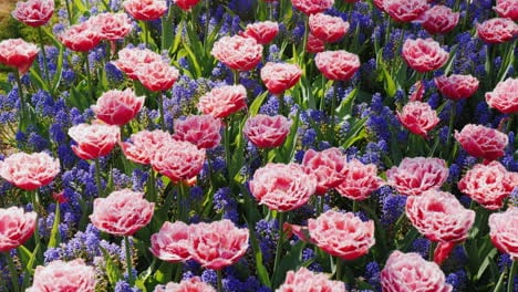 PinkTulips-In-Keukenhof-Park-In-The-Netherlands