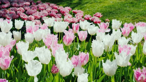 Tulips-Growing-in-The-Netherlands