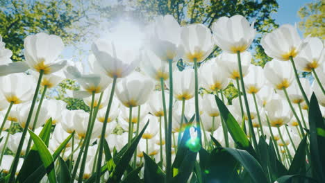 Sunlight-Shining-Through-White-Tulips