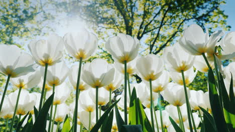Sun-Shining-Through-White-Tulips